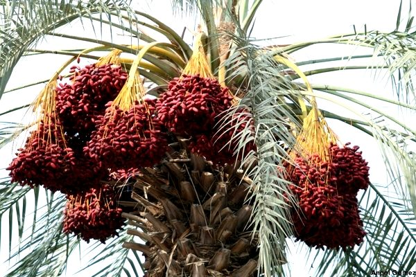 Meditations: Sweetness at a cost: syrup from sap, dates from palms, peace from spiritual & political leaders