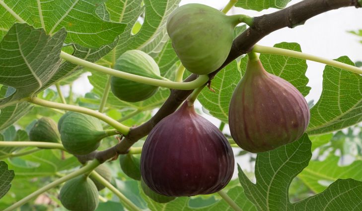 Meditations on figs and vines in scripture: themes from Taste & See that show up as images of peace, abundance, mercy, hope and justice.